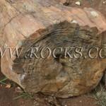 עצים מאובנים, גזעים מאובנים, עץ מאובן, כפר הסלעים